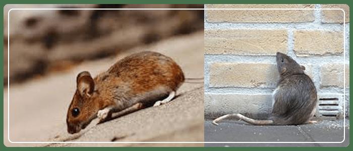 Rodent Control Newport